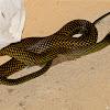 Speckled Racer Snake