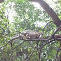 Iguana verde o teyú