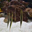 Razorfish Aeoliscus strigatus