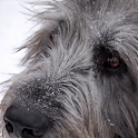 Irish Wolfhound Dog logo