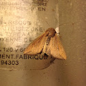 Army worm moth