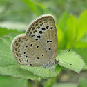 Himalayan Pale Grass Blue