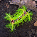 Slug moth caterpillar