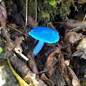 Sky blue mushroom