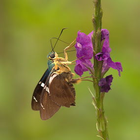 Two-barred Flasher by Siggy In Costa Rica - Animals Insects & Spiders ( butterfly, blue, purplr, feeding, skipper, flower,  )