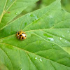 Mariquita . Harlequin Ladybird