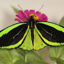 Priam's Birdwing