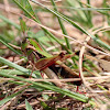 Band-winged Grasshopper