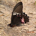 Red-brown Butterfly (Mormon)