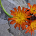 Orange False Dandelion