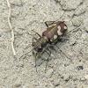Badlands Tiger Beetle