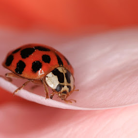 Lady in Pink by Charlene Bacchioni - Animals Insects & Spiders ( rose, macro, lady bird, pink, lady bug, petal,  )