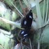 Common Eggfly?
