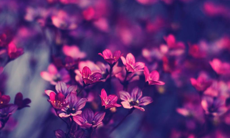 Violet Flowers Wallpapers - screenshot