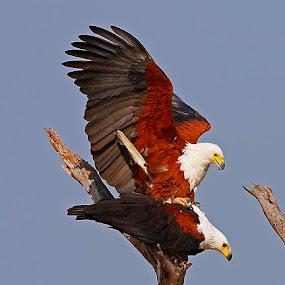 Fish Eagles mating by Chris Krog - Animals Birds ( eagle, fish, mating )