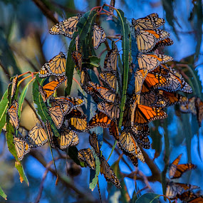 Monarch Condo II by Richard Duerksen - Animals Insects & Spiders ( monarchs, butterflies, pismo beach, , animal, butterfy )