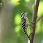 Philippine pygmy woodpecker