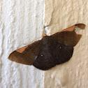 Andes Looper Moth