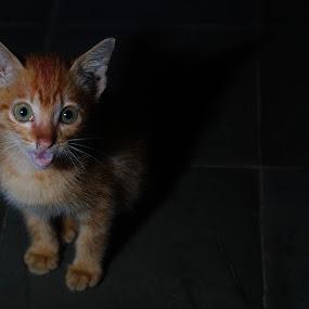 Little Cat by R Muh Lutfi - Animals - Cats Portraits