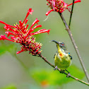 Luzon Sunbird ♂
