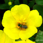 Emerald Carpenter Bee