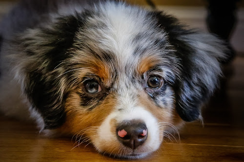 Chloe by Ron Meyers - Animals - Dogs Puppies
