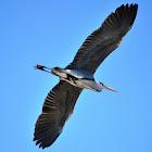 Garza real, Grey Heron