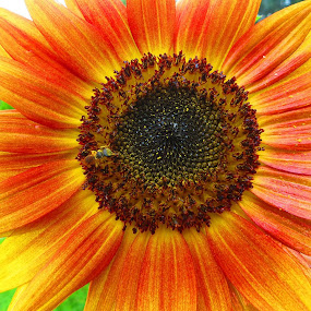 Garden Sunflower by Mary Galloway - Novices Only Flowers & Plants