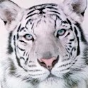 White Tiger HD Live Wallpaper logo