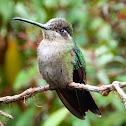 Magnificent hummingbird female