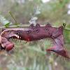 Wattle moth caterpillar
