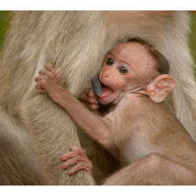 Feedig by Madhu Payyan Vellatinkara - Animals Other Mammals ( monkeys, child hood, mother hood, nikon, mammal )