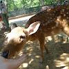 Formosan sika deer