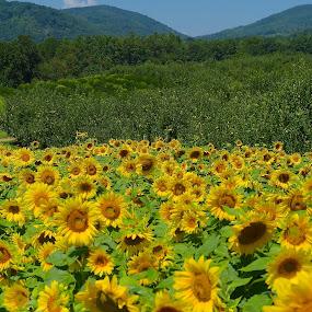 Sunflowers by Roy Walter - Flowers Flower Gardens ( mountains, flower garden, nature, sunflowers, flowers )