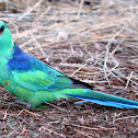 Australian Ringneck (Parrot)