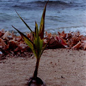 Coconut Palm seedling
