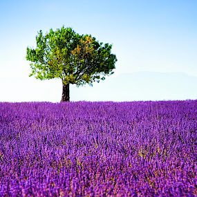 Tree and lavender field by Tomas Vocelka - Landscapes Prairies, Meadows & Fields ( field, provence, smell, fragrance, tree, violet, quiet, lavender, valensole, lonely tree,  )