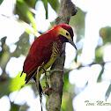 Crimson-mantled Woodpecker
