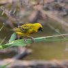Village Weaver (breeding male)