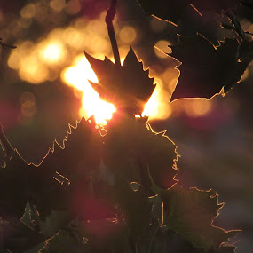 Morning Has Broken  by Anne Santostefano - Nature Up Close Trees & Bushes ( sillhouette, dreamy, shadow, sunrays, gold, sunrise, surreal, leaves, light, golden, sun,  )