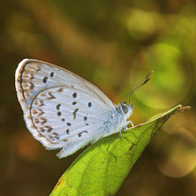 Tiny Grass Blue Zizula Hylax by Ardika Septyawan - Animals Insects & Spiders ( butterfly, tiny grass blue )