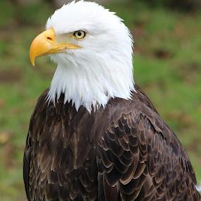 American Bald Eagle on a Roost by Robert Hamm - Animals Birds ( otavalo, bird of prey, eagle, ecuador, bald eagle, american bald eagle, bird, hunter, carnivore, nature, outdoor, raptor, bird sanctuary,  )
