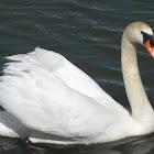 Mute Swan [male] part 4
