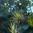 Baby Bromeliads
