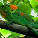 Green basilisk, Emerald basilisk, Plumed basilisk, Jesus Christ Lizard