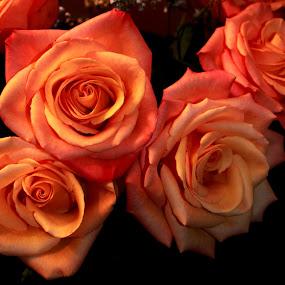 Coral Roses by Rhonda Silverton - Flowers Flower Arangements ( bouquet, rose, coral, roses, coral roses, flower,  )