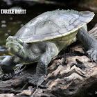 Krefft's Turtle