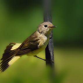 American Redstart by Liz Crono - Animals Birds ( redstarts, birds )