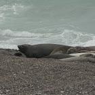South American Elephant Seal