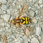 Hornet Flower Fly